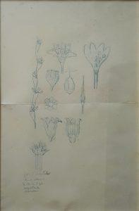 FLORES - ESTUDO - CRAYON S/ PAPEL - 36,0 x 24,5 cm - c.1900 - COLEÇÃO PARTICULAR