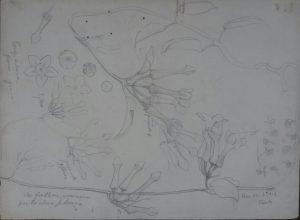 FLORES - ESTUDO - CRAYON/PAPEL - 23 x 31 cm - c.1903 - COLEÇÃO PARTICULAR