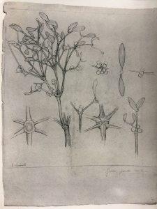 CAULE DE PLANTA E DETALHES - LÁPIS SOBRE PAPEL - 63.0 x 48.0 cm - c.1900 - LOCALIZAÇÃO DESCONHECIDA