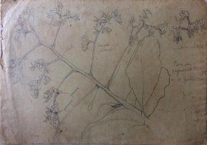 FLOR DE CAJUEIRO - LÁPIS SOBRE PAPEL - 21,5 x 31,7 cm - 1902 - COLEÇÃO PARTICULAR